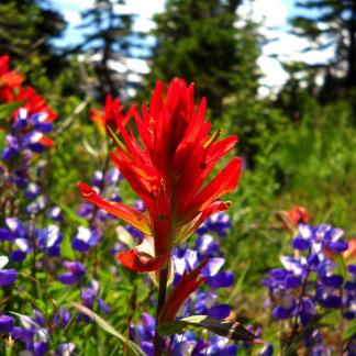 Indian Paintbrush - Mount Rainier National Park, WA