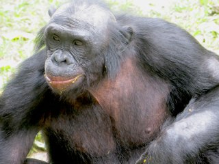 Bush meat that may carry the Ebola virus includes even endangered bonobos, but villagers are hungry.