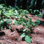 Creeping Poison Ivy