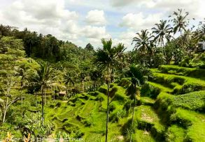 tegallalang rice fields