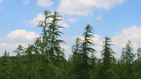 War on Drugs gegen Rohstoffkonkurrenten: Hanfpflanzen unter blauem Himmel