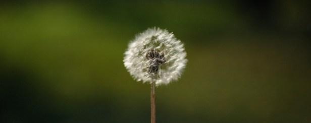 blur close up color dandelion
