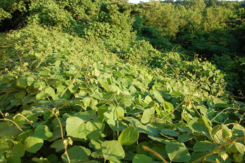 Kudzu plants near Canton, Georgia