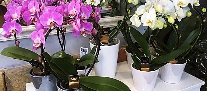 Nők napja orchidea válogatás