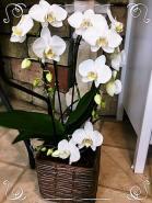lecsüngő óriás orchidea