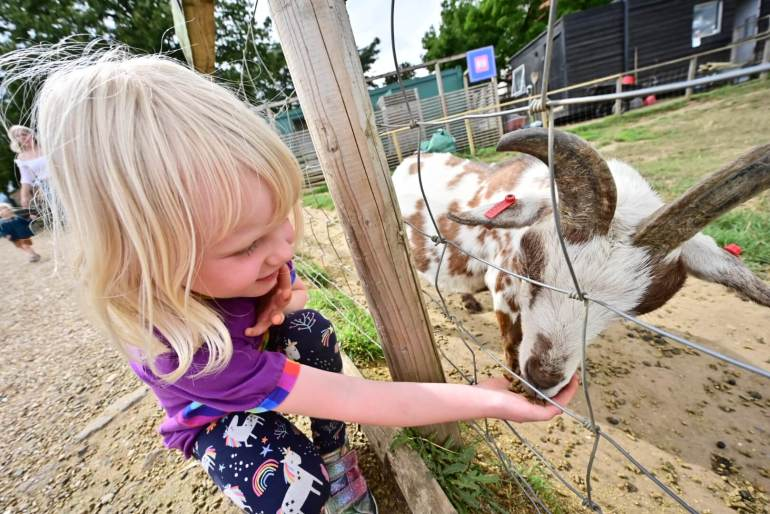 girl feeding sheep at Jimmy's Farm Ipswich