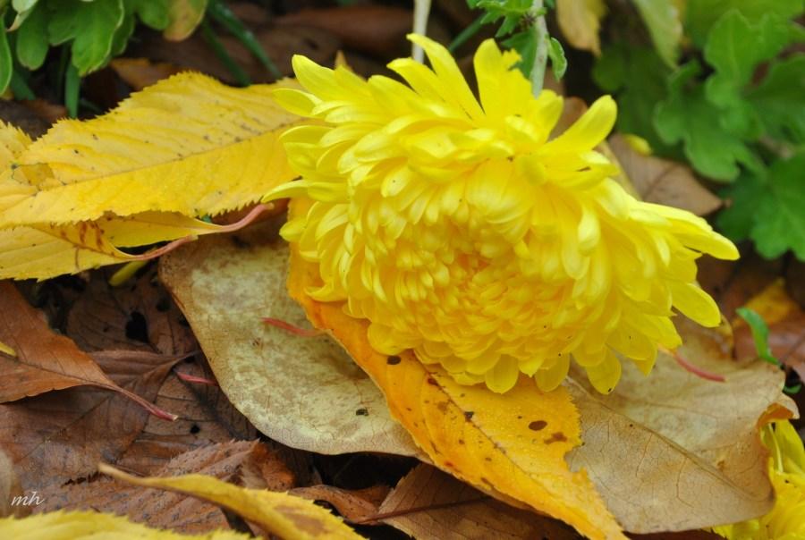 Thu Cuc 2013 (32). Sưu Tầm về hoa Cúc