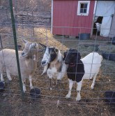 farm hannahs goaties color edited