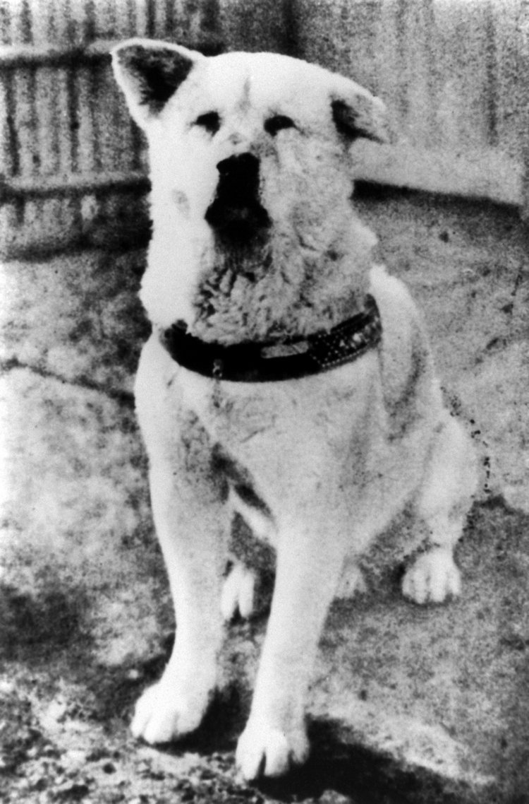 What Type Of Dog Is Hachi : hachi, Loyal, Hachiko, Hanoian, Snippets