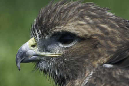 Roofvogels-4