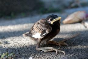 Jungvogel Hirtenstar