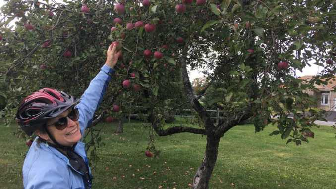 Greely Loop: Apples galore in the old orchard