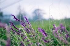 lavender yang indah