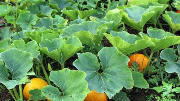 pumpkin-2106180818