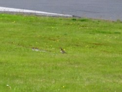 Golden Plover?