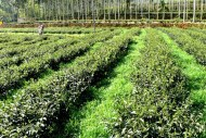 Eco-Cha_Dong-Ding-High-Mountain-Oolong_8_1024x1024
