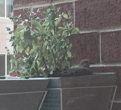 Dove & Basil