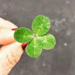 şans dört yapraklı yonca