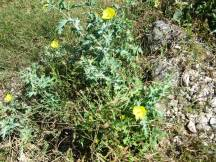 Some flowers struggling to stay alive after the khareef