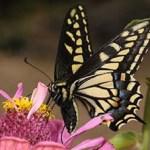 Butterfly- Pollinators class