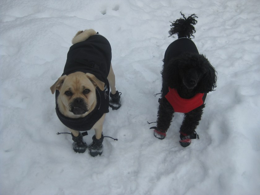Two different breeds wearing the Chilly Dog dog coats.