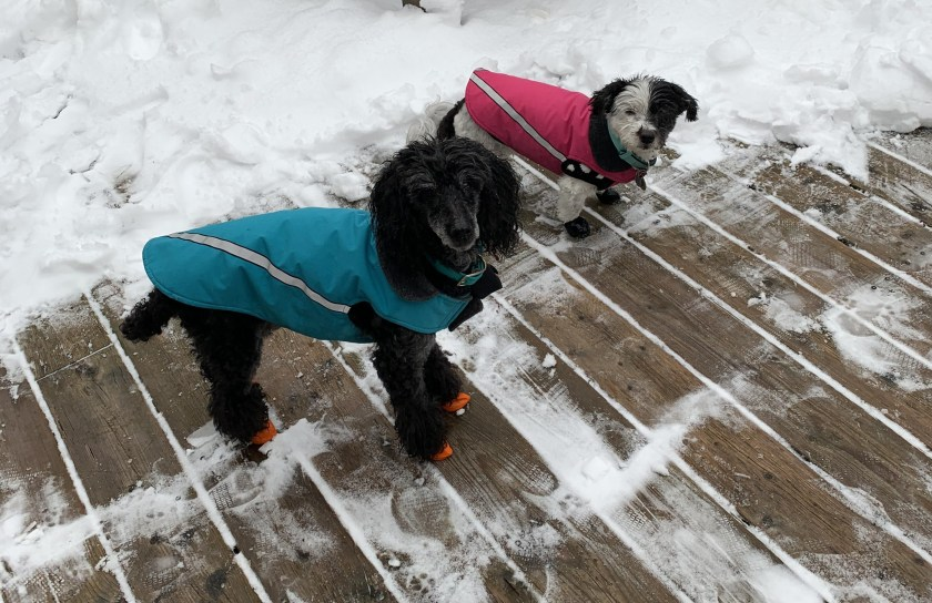 Dogs wearing RC Pets dog coats.