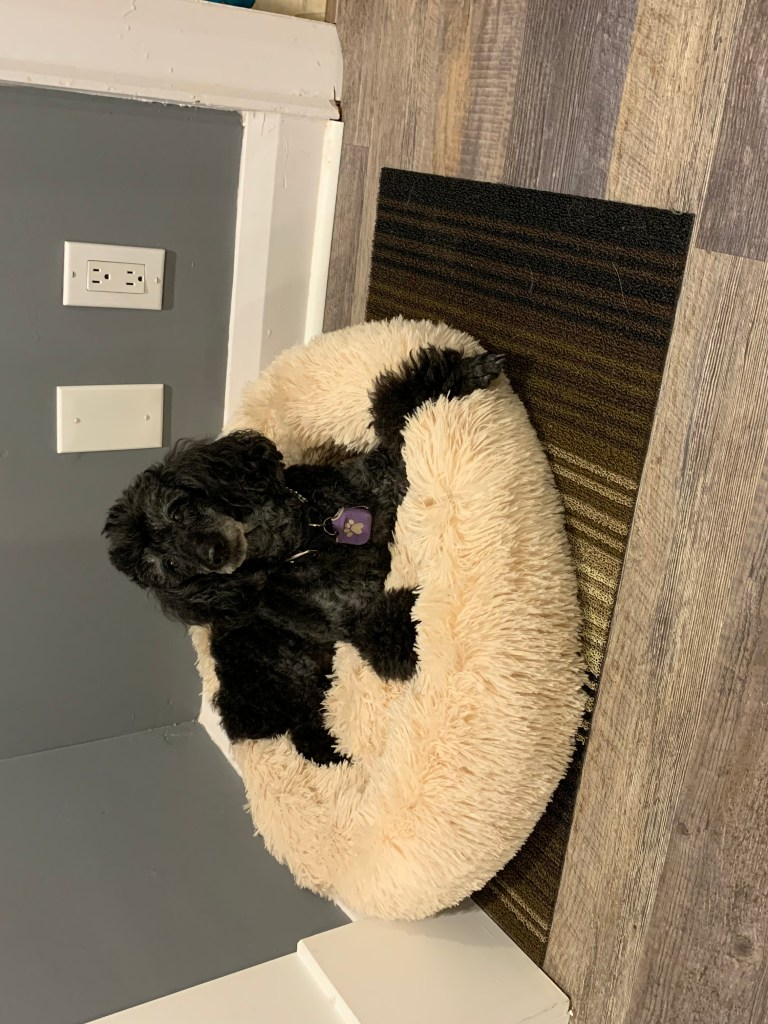 Mini-Poodle relaxing in the Dog Calming Bed by DogPetSmart.