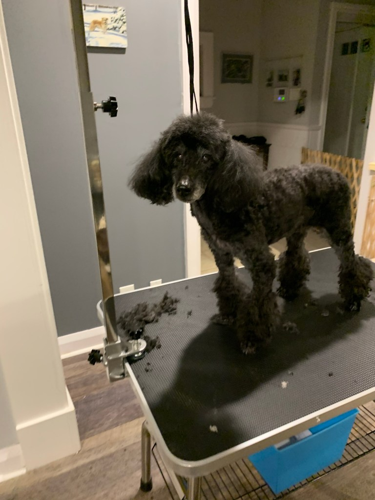 Front view of Poodle's grooming completed.