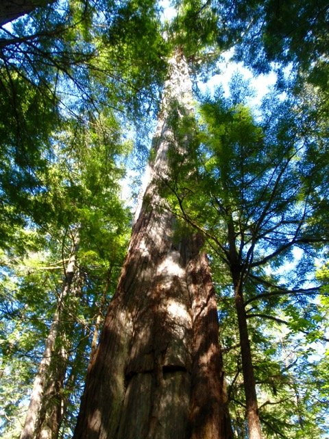 Old growth tree on the Nootka Trail