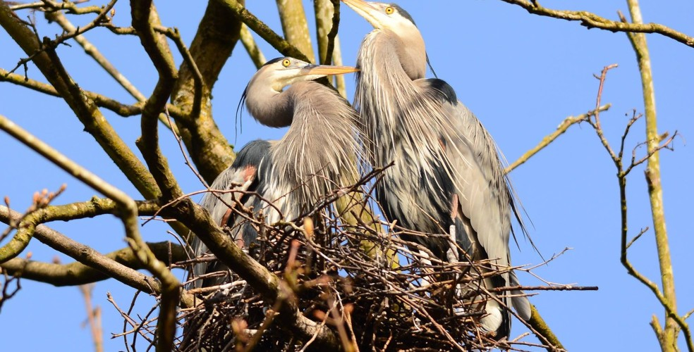 Vancouver Wildlife viewing - heron cam