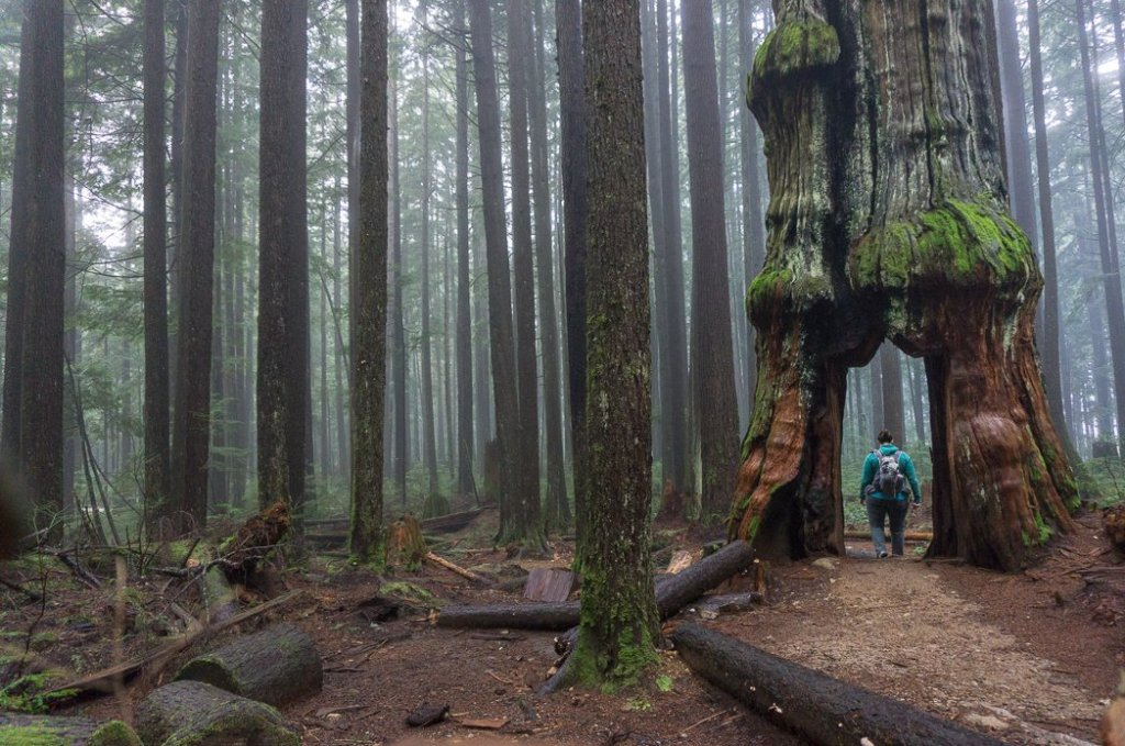 Hiking through a giant cedar tree. Don't like crowds? Here are 15 ways to avoid crowded hiking trails.