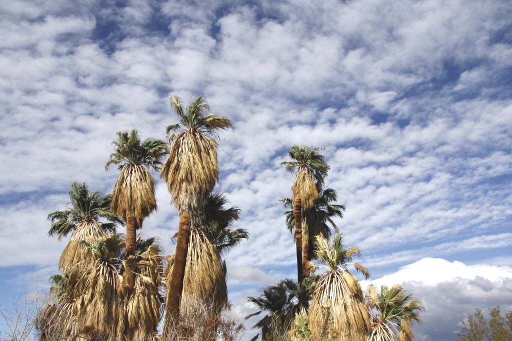 Fan palm trees at the Oasis of Mara in Joshua Tree National Park, one of 15 awesome things to do in Joshua Tree. Add visiting an oasis to your Joshua Tree bucketlist.