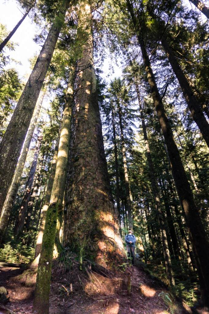 The Hollyburn Fir in West Vancouver. Just one of 15 unusual hikes near Vancouver.