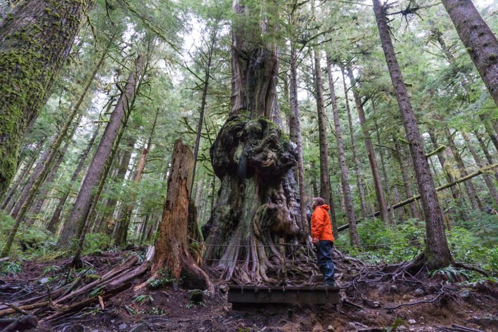 Canada's Gnarliest Tree in Upper Avatar Grove. Visit Big Lonely Doug, Avatar Grove and the other big trees near Port Renfrew, British Columbia.