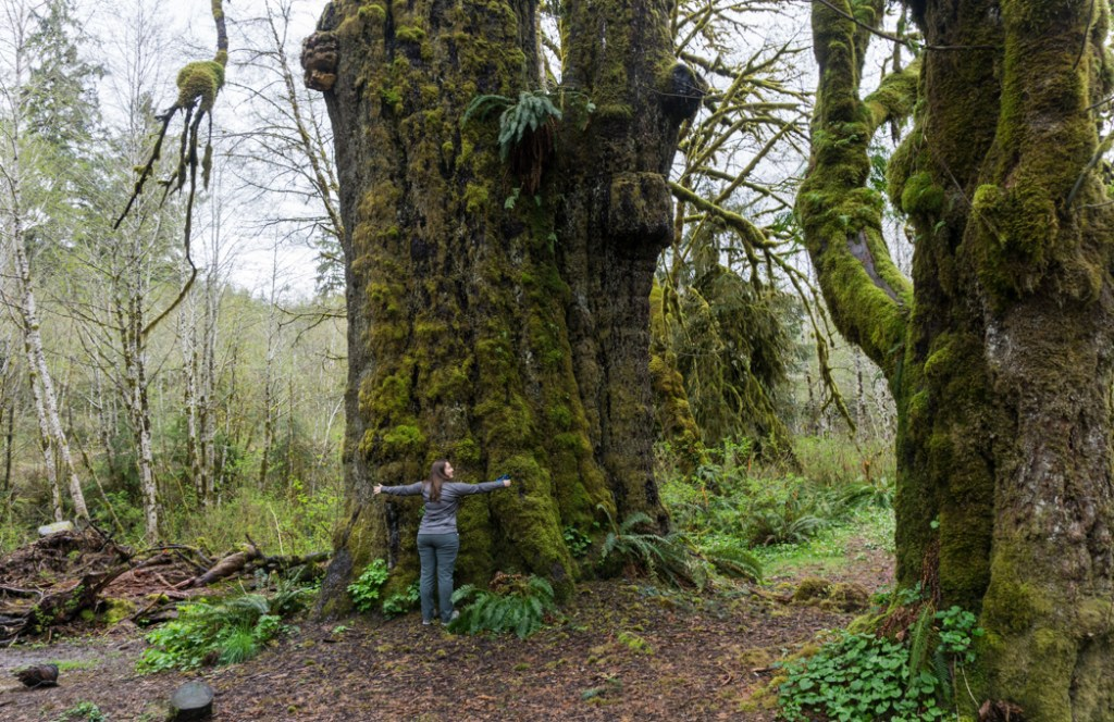 The San Juan Spruce. Visit Big Lonely Doug, Avatar Grove and the other big trees near Port Renfrew, British Columbia.