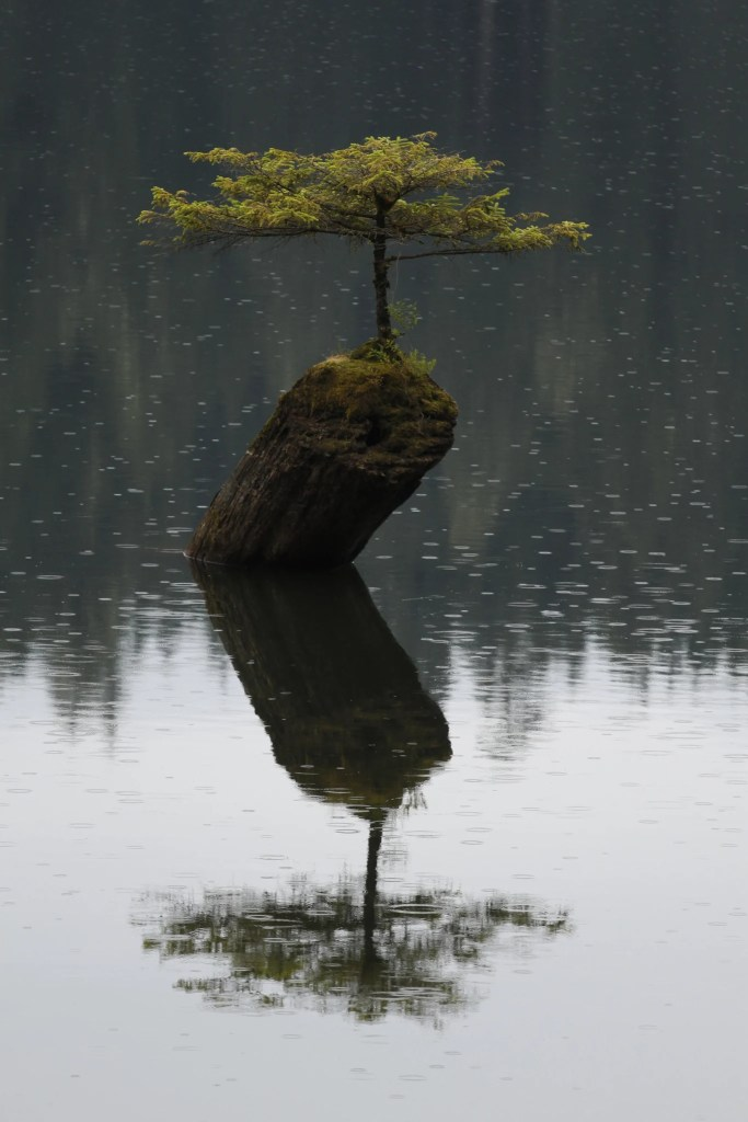 The bansai tree at Fairy Lake is one of the best roadside stops on the Pacific Marine Circle Route on Vancouver Island.