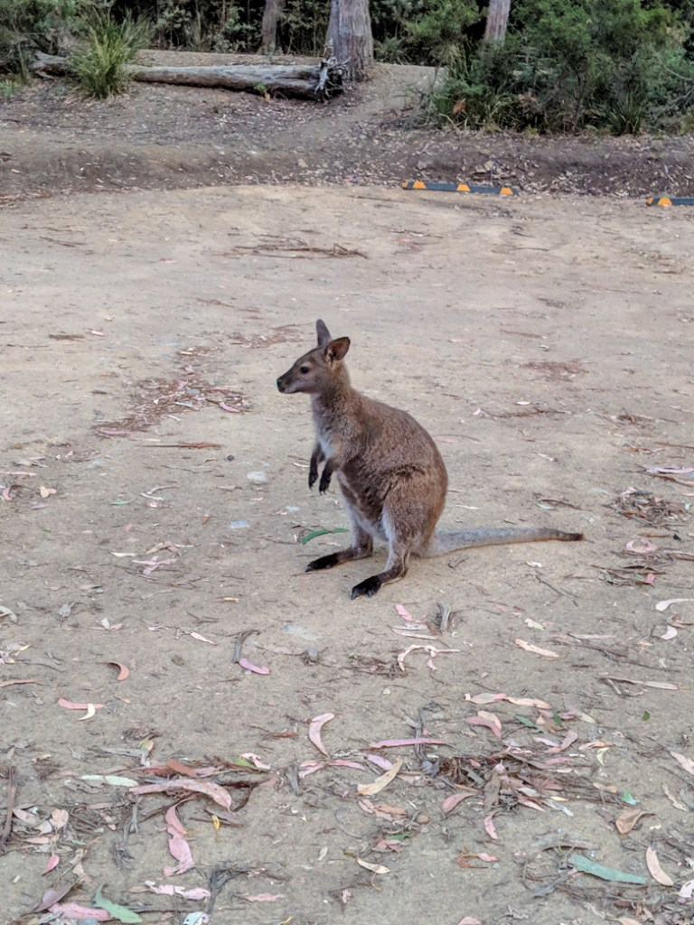 A wallaby at the Fortescue Bay campground, one of the best places to see wildlife in Tasmania