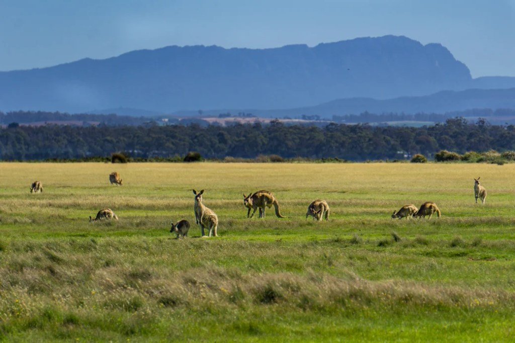 A troop of Kangaroos grazing at Narawntapu National Park, one of the best places to see wildlife in Tasmania
