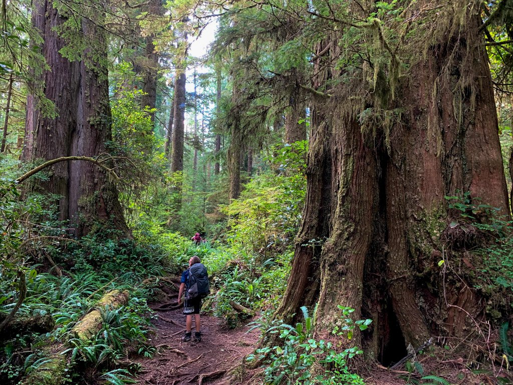 Hiking past giant trees on the West Coast Trail