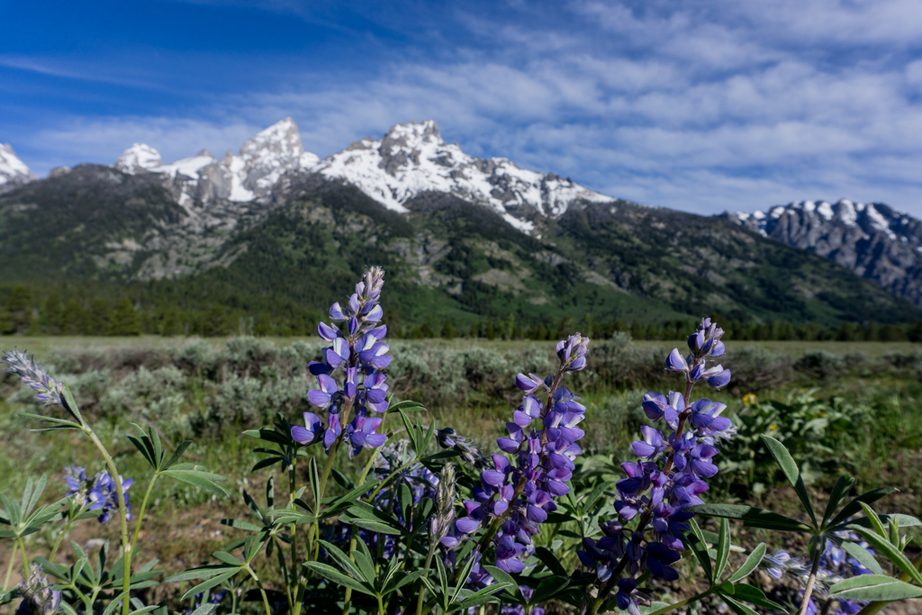 Wildflowers in from of the Teton mountains in Grand Teton National Park