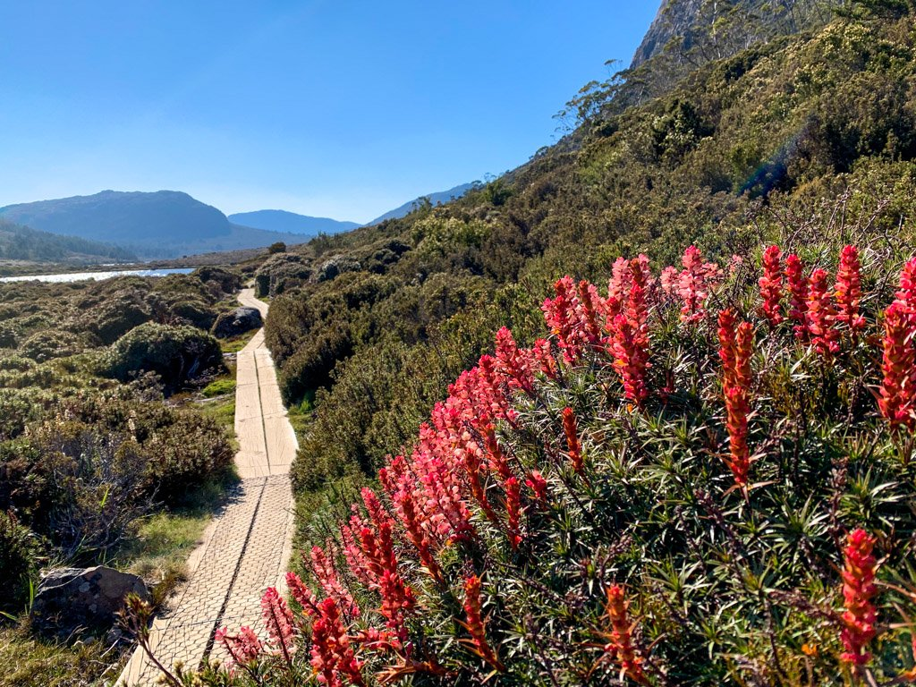 Flowers bloom next to a boardwalk track at Herod's Gate in Walls of Jerusalem, Tasmania