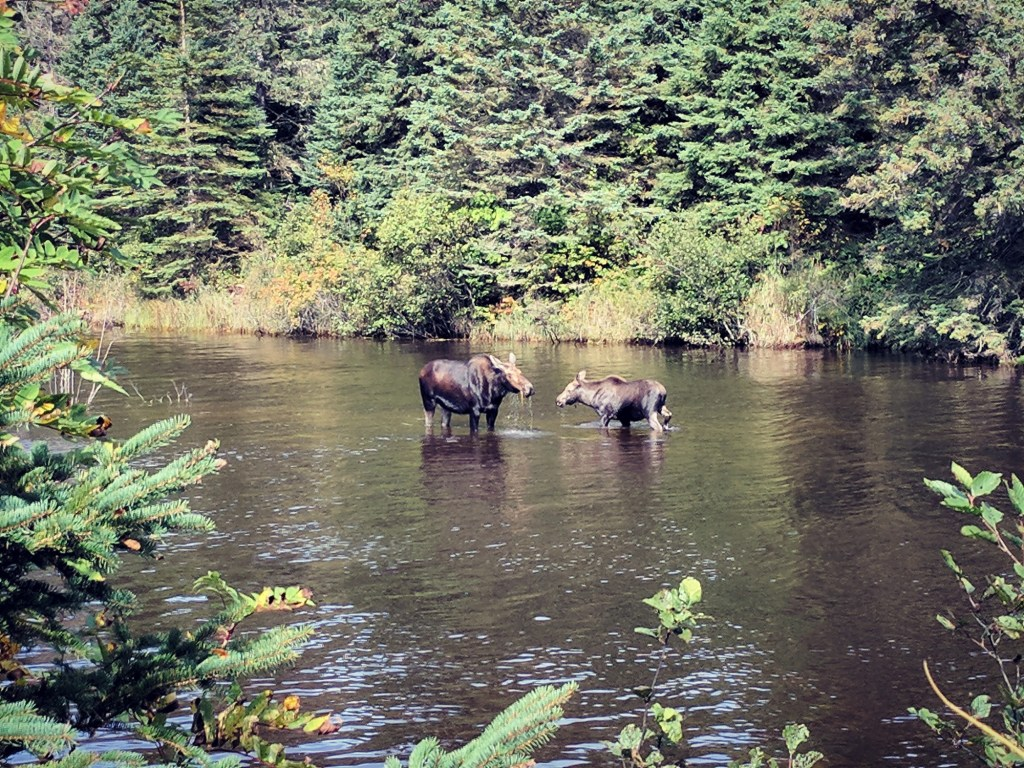 Two moose stand in a creek in Isle Royale National Park in Michigan - it's one of the least visited US National Parks