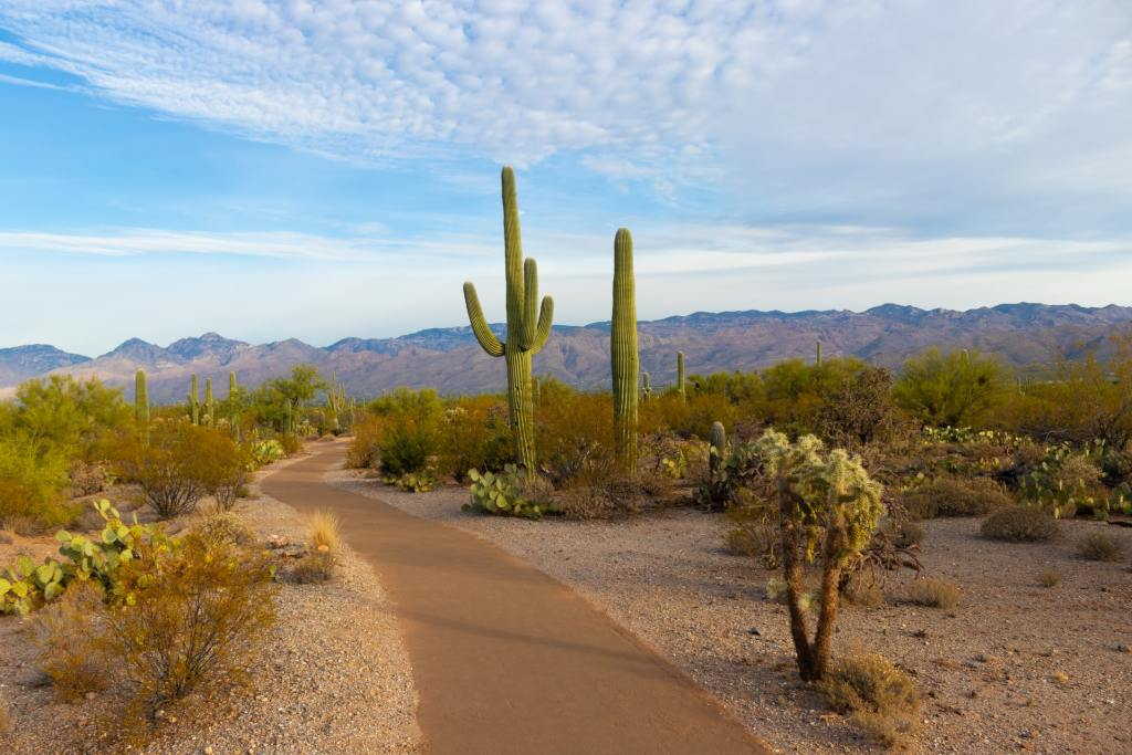 Tall cacti line a path in Saguaro National Park