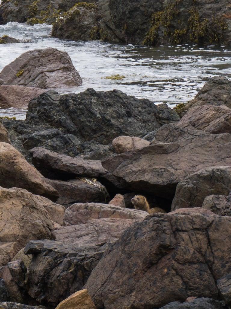 A mink amongst rocks on Northern Vancouver Island