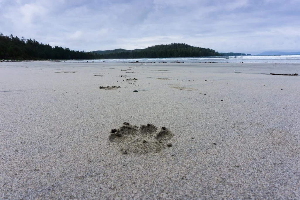 Fresh wolf tracks on the beach in Cape Scott Provincial Park