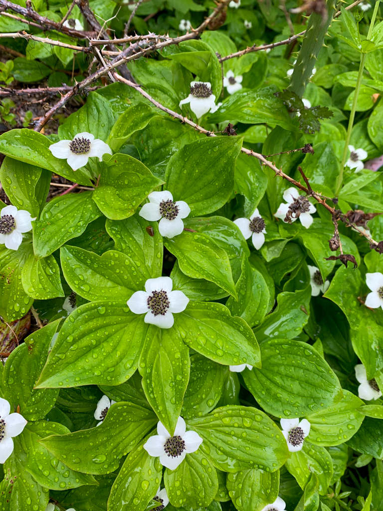 Close up of bunchberry flowers
