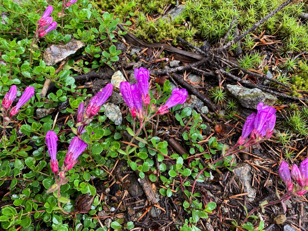 Davidson's pentsemon wildflowers in Whistler. BC