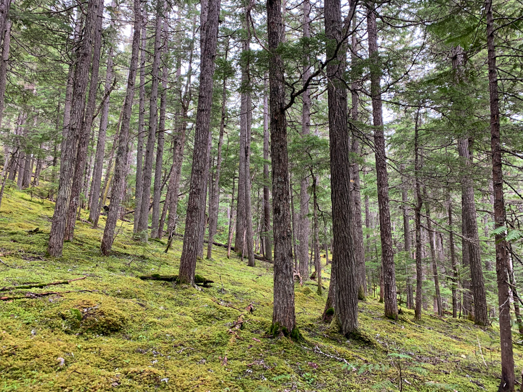 Mossy forest along the trail to Parkhurst in Whistler, BC
