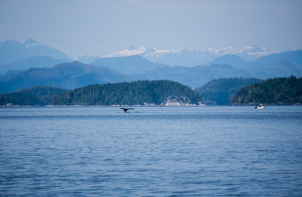 Tail fluke of a humpback whale in the Johnstone Strait on north Vancouver Island