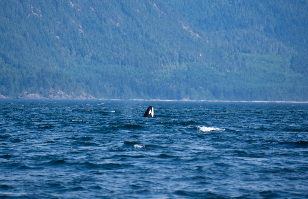 Orca whale spyhopping in the Johnstone Strait on north Vancouver Island